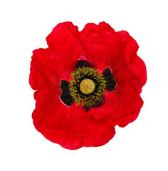 Poster Poppy Single red poppy isolated on white background. poppy cut out.