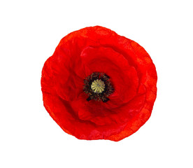 Spoed Fotobehang Klaprozen Bright red poppy flower isolated on white, top view