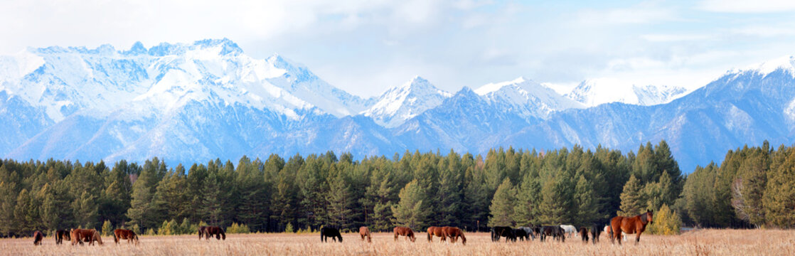 Panoramic view of a herd of horses grazing in Tunka foothill valley in the background of the snow-capped mountains of the Eastern Sayans. Beautiful rural landscape