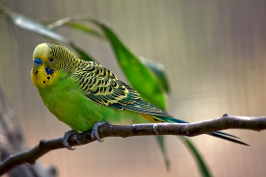 a green and yellow budgerigar or parakeet