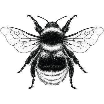 Illustration of a Garden Bumblebee (bombus hortorum)