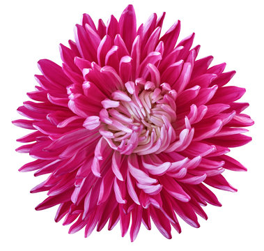 pink aster flower, white isolated background with clipping path. Nature. Closeup no shadows.