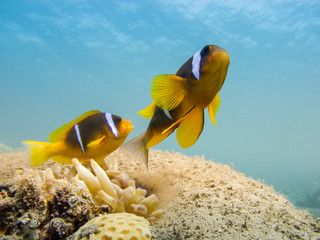 Two Red Sea anemonefish with a clear blue sea in the background - Underwater at dive site Bannerfish Bay in Dahab, Egypt