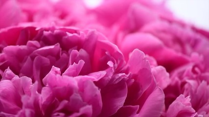 Fotoväggar - Beautiful pink peony bouquet background. Blooming peony or roses flowers spin around, close-up. 4K UHD video footage. 3840X2160