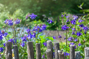 Fototapeta Wiosna. Kwiaty w ogrodzie rosnace przy  starym płocie obraz
