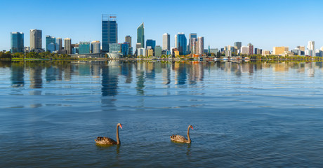 Wall Mural - Swan in the river and Perth city on background