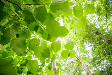 Summer forest landscape. Green trees and leaves close-up