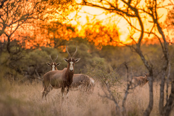 A blesbok (Damaliscus pygargus phillipsi) standing in the grass, looking at the camera at sunset, with the rest of the herd in the background. Dikhololo game reserve, South Africa