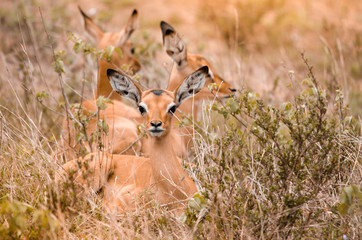 A group of impala fawns (aepyceros melampus) lying in the grass, with one looking at the camera