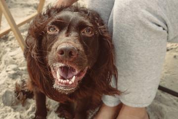 Brown Spaniel Dog at beach