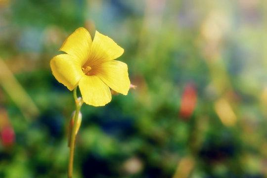 Yellow jessamine flower in the wilderness