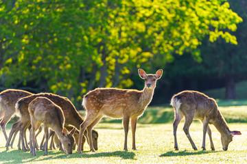 Spoed Fotobehang Hert 奈良公園の鹿