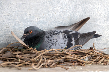 The pigeon nests on the ledge of the house over street. Pigeon sits on a nest in the city center. Fotomurales