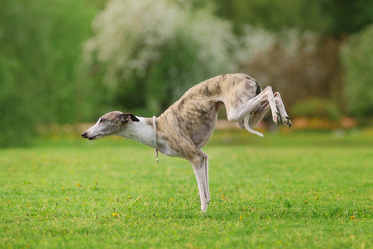 graceful whippet dog standing on the front paws