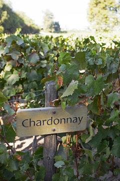 Chardonnay Vines, Maipo Valley, Santiago, Chile