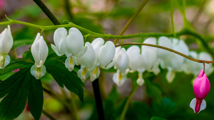 Bleeding Heart cultivar Alba with white blossoms