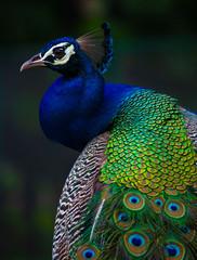 Indian Peacock, Peacock closeup, peacock head, peacock feathers, dancing peacock close up, close up of peacock
