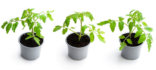 Fototapeta Set of tomato plant in a pots isolated on a white obraz