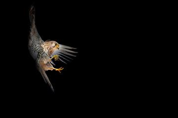 Bird landing. Flying falcon. Black background. Bird: Lesser Kestrel. Wall mural
