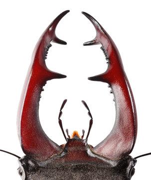Stag Beetle mandibles