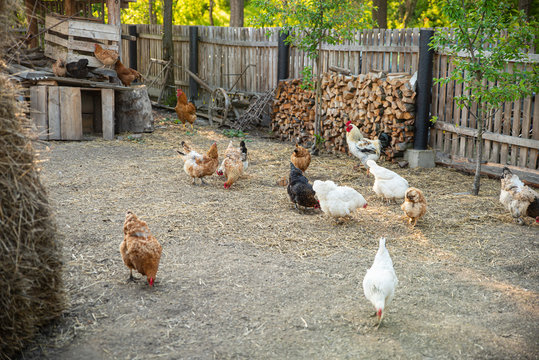 Chickens in hen coop, back yard. Life in the village