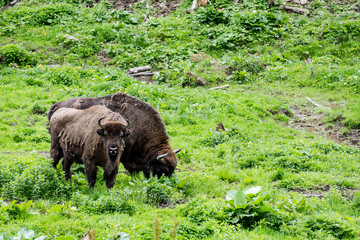 European bison (Bison bonasus) young with adult grazng in meadow in forest, Bieszczady National Park, Poland