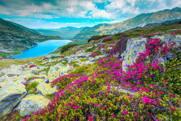 Wall Mural - Mountain pink rhododendron flowers and Bucura lake, Retezat mountains, Romania