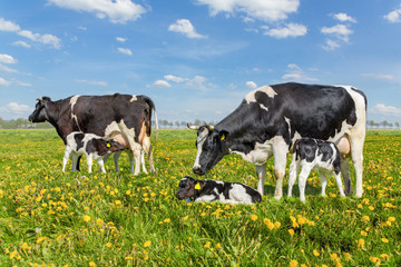 Mother cows with drinking calves in dutch meadow
