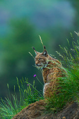 Printed roller blinds Lynx Eurasian lynx (Lynx lynx)