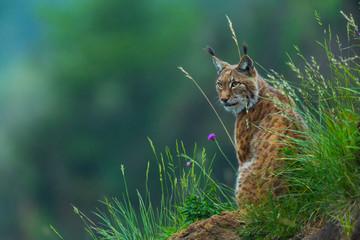 Photo sur Aluminium Lynx Eurasian lynx (Lynx lynx)