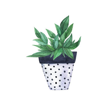 Green plant in a black and white polka dot pot isolated on white background. Hand drawn watercolor illustration.