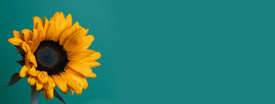 a bright Sunny sunflower with dew drops on yellow petals on colored background