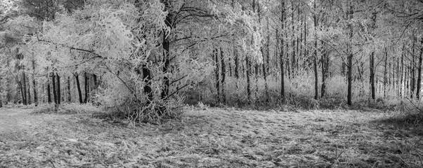 Panoramabild in schwarzweiß - Mit Raureif überzogener Winterwald