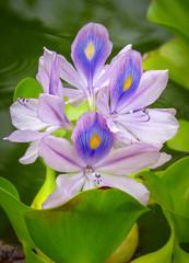Purple water hyacinth (Eichhornia crassipes) native to tropical and sub-tropical South America. Botanical Moir Gardens, Poipu, Kauai, Hawaii, USA