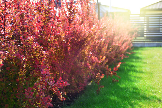 Red barberry bushes in a backyard. Berberis thunbergii atropurpurea