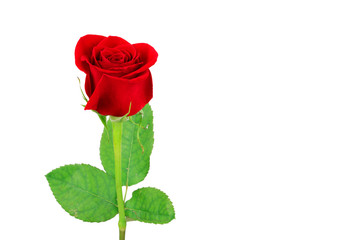 Fototapete - red rose isolated on the white background