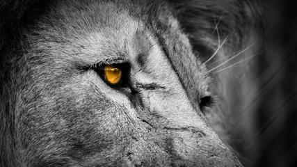 Fotobehang Leeuw Golden eye lion face up close