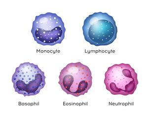 Illustration of Monocyte,   Lymphocyte, Eosinophil, Neutrophil, Basophil .Vector blood cells.