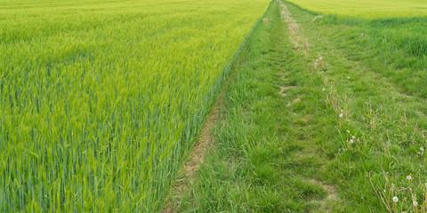 Getreidefelder grün