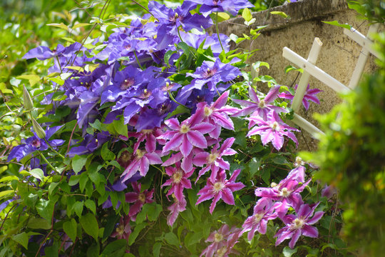 Beautiful pink and purple Clematis flowers in house garden