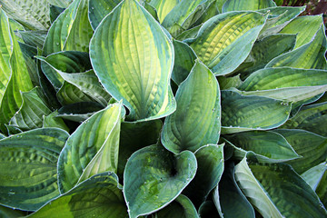 Water drops on leaves of Hosta Funkia .