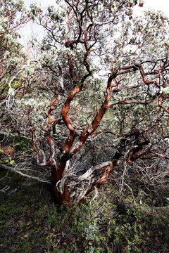 Manzanita Bush With Red Bark And Green Vegatation