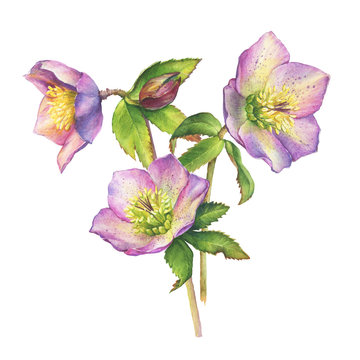 Spring bouquet of first wild flower hellebore (also known as winter rose, Christmas rose, Lenten hellebore). Hand drawn watercolor painting illustration isolated on white background.
