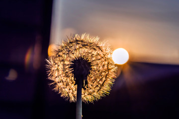 dandelion at sunset photo. close up