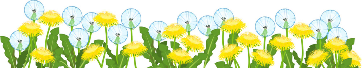 Wall Mural - Yellow dandelions flowers and white blowballs field isolated on white background. Flower border