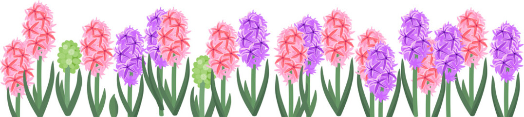 Wall Mural - Spring flower border with colorful blooming hyacinths isolated on white background