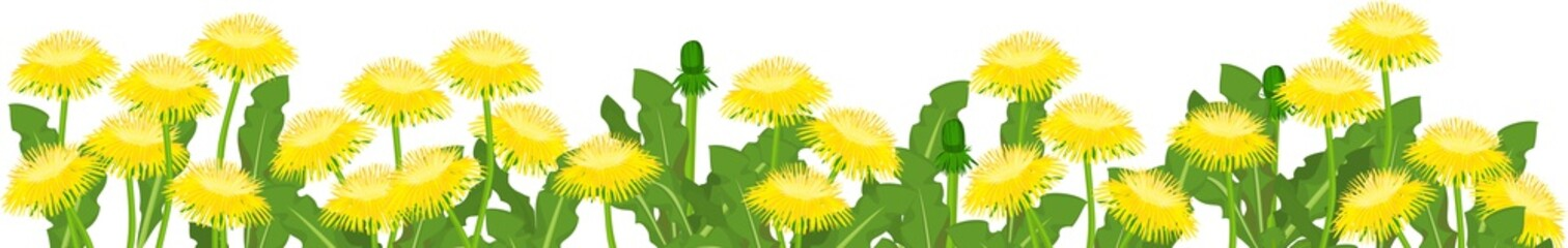 Wall Mural - Field of yellow dandelion flowers with green leaves isolated on white background. Flower border