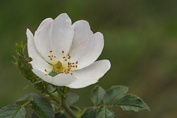 Rosa canina,  el rosal silvestre