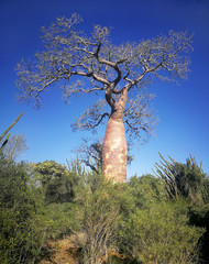 In de dag Baobab Single baobab tree with more green trees and bushes around, clear dark blue sky in background