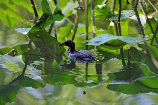 池を泳ぐ水鳥